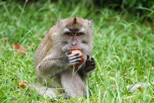 Wild monkey in Mauritius island