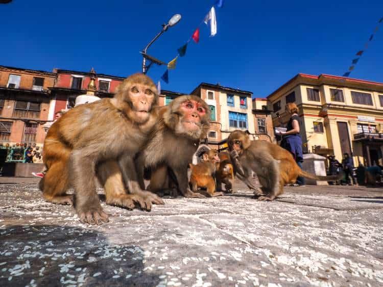 Sitting monkey on swayambhunath stupa in Kathmandu
