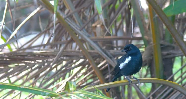 Seychelles Magpie Robin