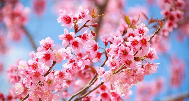Cherry_Blossom_Tree
