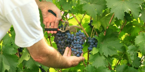 Grapes_picking