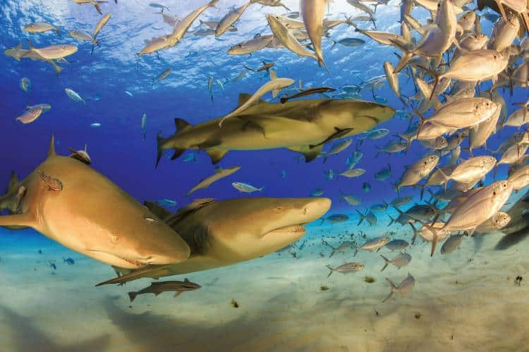 Lemon sharks  are the most abundant large sharks  in Aldabra.