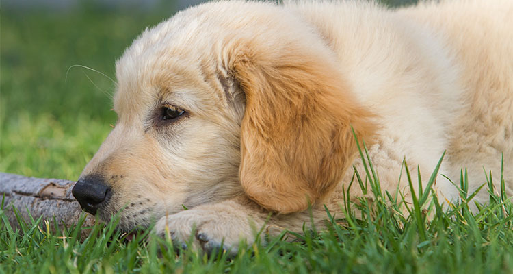 Golden retriever puppy 3 months