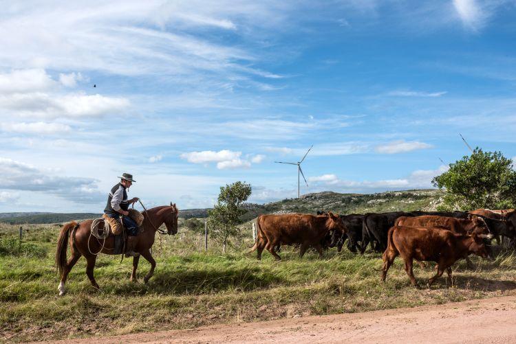 Gaucho herding cows