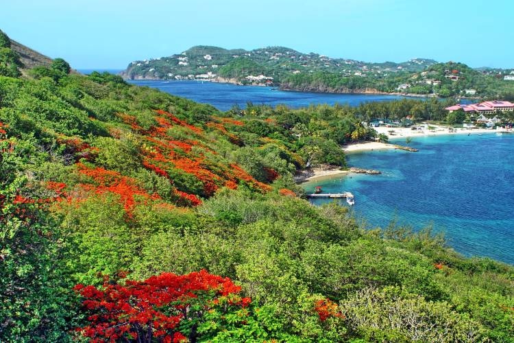 Flowering flame trees on the slope of Pigeon Island